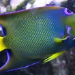 Angelfish — Stock Photo #3762355