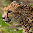 Cheetah — Stock Photo #3763269