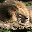 Lion sleeping - Stock Photo