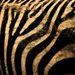 Zebra — Stock Photo #3769394
