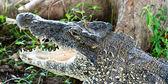 Coccodrillo cubano — Foto Stock