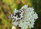 Marbeld White Butterfly — Stock Photo