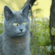 Stock Photo: Gray cat outdoors