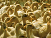 A lot of ducklings — Stock Photo
