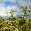 Stock Photo: Buckwheat inflorescence