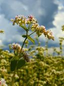 Buckwheat inflorescence on the field. Vertical — Stock Photo