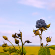 Stock Photo: Bluish blackberries berries