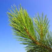 Green pine branch — Stock Photo