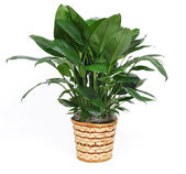 Houseplant on a white background — Stock Photo