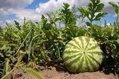 Wachsende Wassermelone — Stockfoto