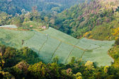 Mountain Lettuce Farming — Stock Photo