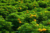 Marigold flowers plantation — Stock Photo