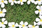 Leelawadee květ — Stock fotografie