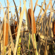 Stock Photo: Green bulrush near the lake