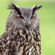Big owl — Stock Photo