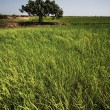 Rice paddy crops — Stock Photo