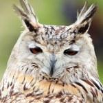 White owl — Stock Photo