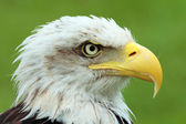 American bald eagle — Stockfoto