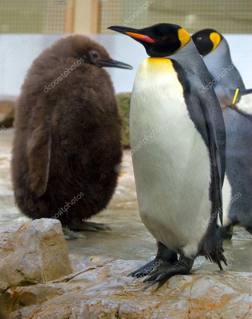 在奥地利 vienn 动物园里的一个搞笑沃克动物拍摄的好企鹅— 照片作者