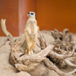 Suricat (Suricata suricatta) - 