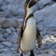 Penguin — Stock Photo #3747086