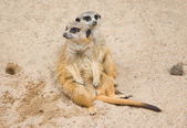 Suri?at (Suricata suricatta) — Stock Photo