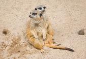 Suri?at (Suricata suricatta) — Stock Photo