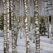 Russian birch winter — Stock Photo