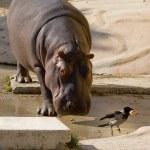 Hippo and bird — Stock Photo