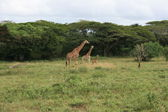Giraffes in Height Order — Stock Photo