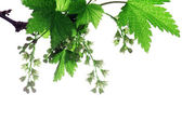 Branch of a blossoming currant — Stock Photo