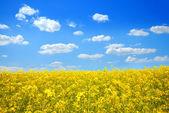 Brassica napus sotto un brillante cielo blu — Foto Stock