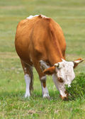 Female cattle — Stock Photo