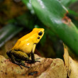 Royalty-Free Stock Photo: Yellow frog