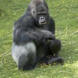 Silverback Gorilla — Stock Photo #3768309