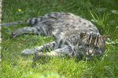 Fishing cat — Stock Photo