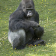 Silverback Gorilla — Stock Photo #3801556