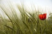 Poppy and Wheat — Stock Photo
