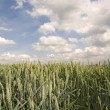 Wheat field — Foto de stock #3815603