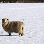 Cold sheep — Stock Photo