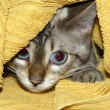 Hiding kitten - Stock Photo