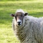 Lamb — Stock Photo #3836725