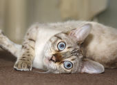 Bengal kitten — Stock Photo