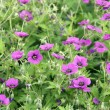 Stock Photo: Cranesbill