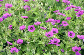 Cranesbill — Photo