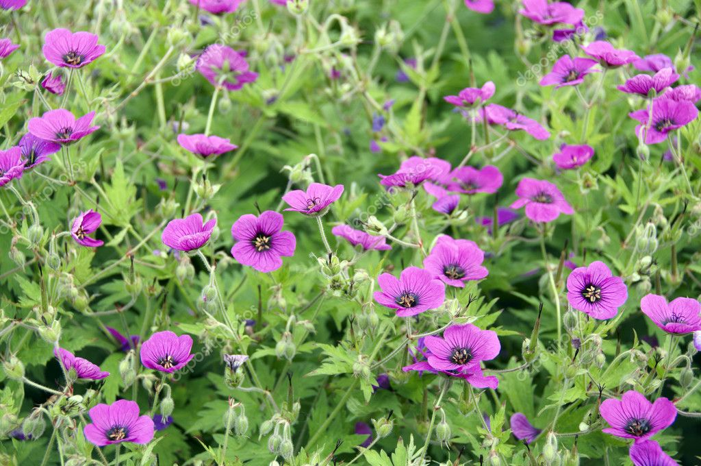 Pink geraniums (cranesbill) with a green background  Stock Photo #3848970
