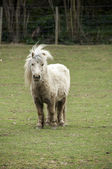 Shetland pony — Stock Photo