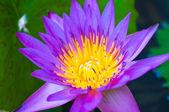 Purple lotus — Stockfoto