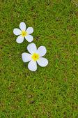 Temple flower — Stock Photo
