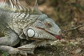 Iguana showing a tounge — Stock Photo